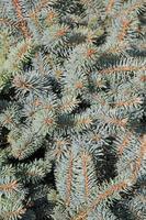 Weihnachtsbaum Hintergrund. foto