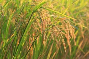 Reisfeld Naturhintergrund in Thailand, asiatisch