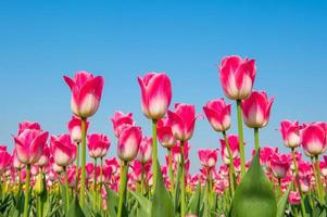 bunte Tulpen,