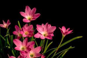 Nahaufnahme, blassrosa, Amaryllisblume, schwarzer Hintergrund, große Blüten. foto