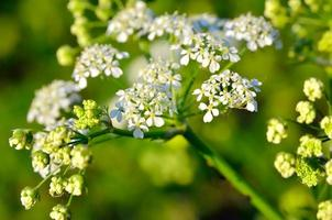 Blumen giftige Hemlocktanne zwischen grünen Blättern im Garten foto