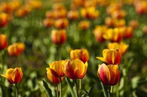 Tulpe mit Bokeh.