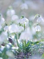 Schneeflocke Schneeglöckchen Frühling