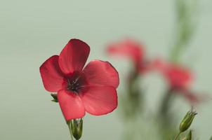 Flachs (Linum Grandiflorum) Blüten