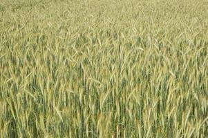 gelbe Gerste auf dem Feld foto
