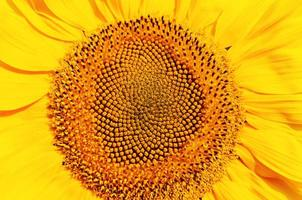 zentraler Teil der Sonnenblume foto