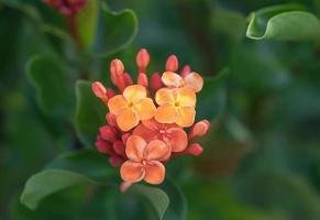 ixora orange Blüten