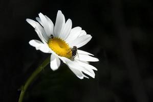 Gänseblümchen und Biene foto