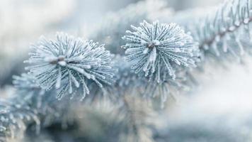 frostige Tannenzweige im Winter mit Raureif bedeckt