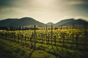 Weinberge im Rheinland Pfalz im Frühsommer