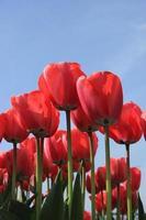 rosa Tulpen foto