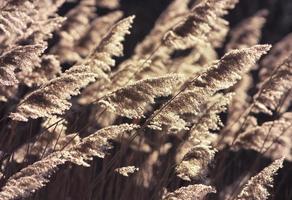 Schilf im Wind foto
