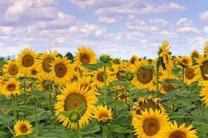 Sonnenblumenfeld. foto