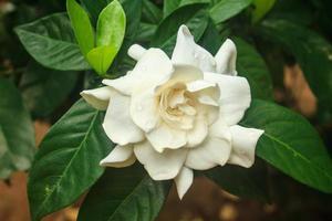 schöne Gardenie Jasminoides Blume auf Baum foto
