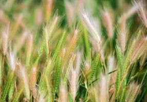 Sommer Natur Weizen Grasfeld Landschaften ländlich