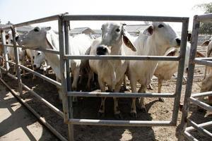 Rinder auf dem Bauernhof foto