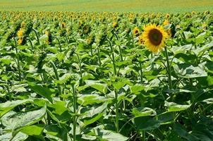 Sonnenblumenfarm