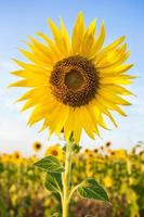 gelbe Sonnenblumenfarm foto