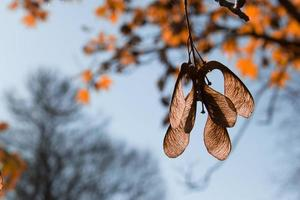 Ahornsamen Herbst