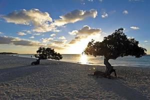 Dividivi Bäume auf Aruba foto