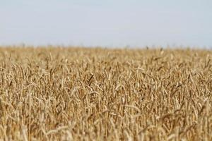 Weizen und Himmel