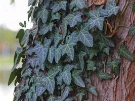 Efeu auf einem Baumstamm