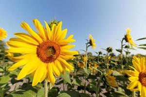 Sonnenblumen gegen blauen Himmel foto