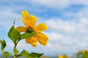 Sonnenblume auf blauem Himmel