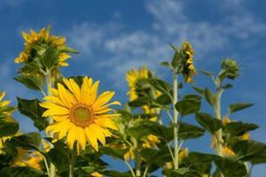 Sonnenblumen mit blauem Himmel.