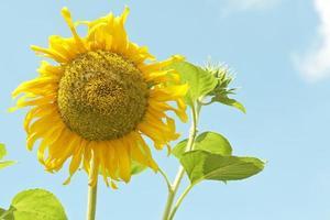 Sonnenblume gegen Himmel
