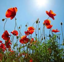 Mohnblumen auf blauem Himmel Hintergrund foto