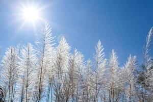 weißes Schilf und blauer Himmel foto