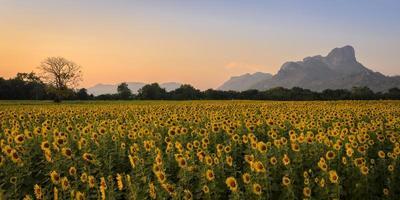 Sonnenblumenfeld über blauem Himmel