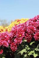Gänseblümchenblumen mit blauem Himmel foto