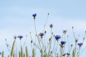 Kornblumen gegen den blauen Himmel
