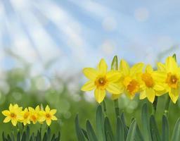 gelber Frühlingsnarzissengras und abstrakter Bokehhintergrund des blauen Himmels