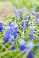 lila Muscari Blüten