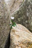 Blume zwischen den Felsen