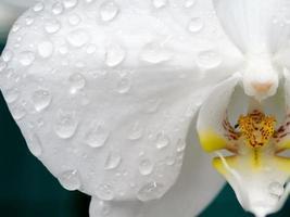 Wassertropfen auf Phalaenopsis Orchidee