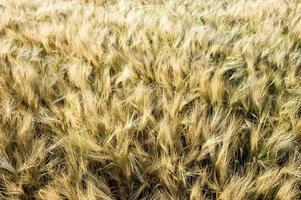 windiger Weizen foto