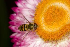 gelbe Wespe auf Blumen