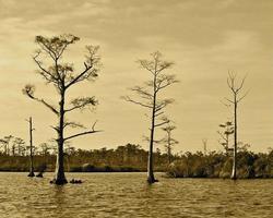 Zypressen in seichtem Wasser, das Lebenszyklus-Sepia übergeht foto
