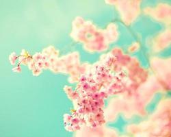 rosa Kirschblüten foto