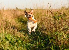 energetischer Hund, der Spielzeugknochen holt.