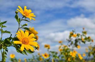 Sonnenblumen am blauen Himmel foto