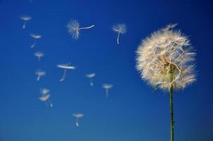 Blowball auf blauem Himmel