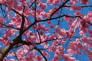 Kirschblüte gegen blauen Himmel