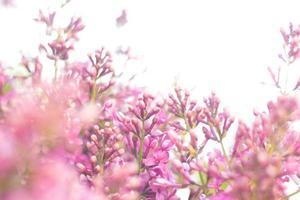 Fliederbusch, der zum Himmel reicht foto