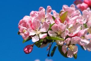 rosa Blüten gegen einen blauen Himmel