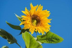 schöne Sonnenblume und blauer Himmel, Thailand foto